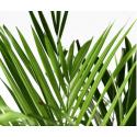 Location de palmier