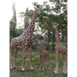 Girafe à louer 2,35 cm
